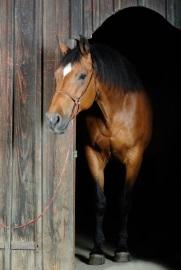 Horse leaving barn